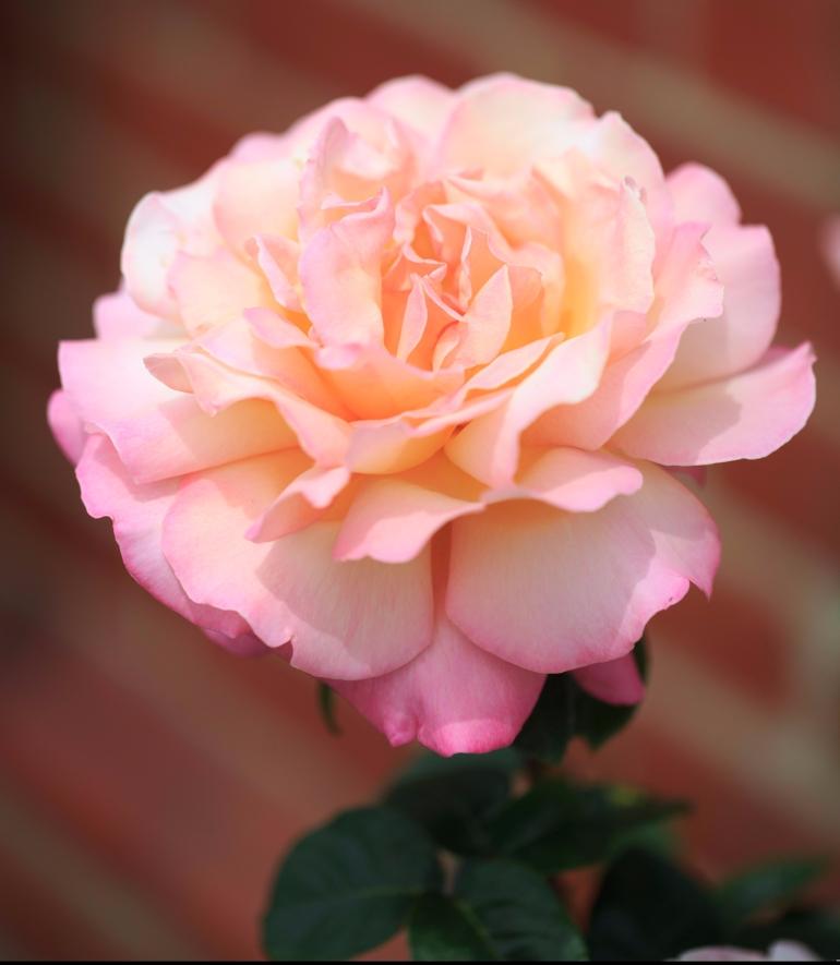 022_smct-roses-hr-22-of-412.jpg